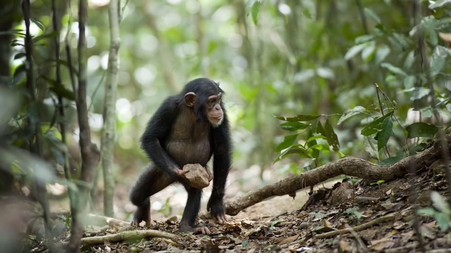 chimpanze - To no Cosmos