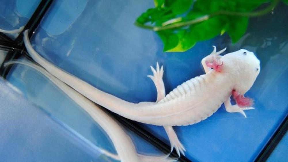 salamandra3